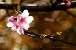 Peach blossom by bluephoenix81716