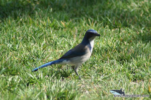 Blue Bird by Sirevil