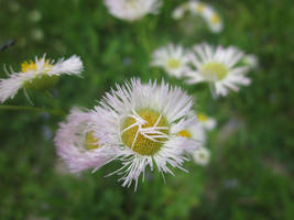 Asters by MillyT