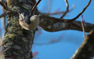 Nuthatch by MillyT