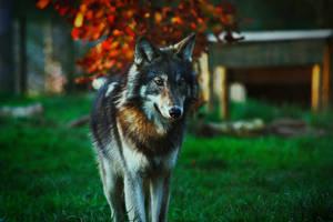 Northwestern wolf by BlackIce-Wolf