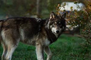 Northwestern wolf 2 by BlackIce-Wolf