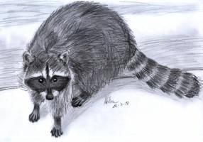 Raccoon by matsmoebius