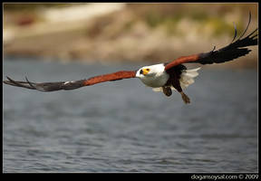 AFRICAN FISH EAGLE by dogansoysal