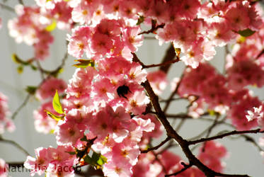 Cherry blossom by Sle3aZ0iD