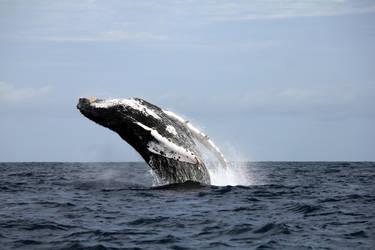 Humpback Whale Breach by lilylatigresse