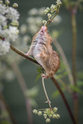 Harvest mouse by alantunnicliffe