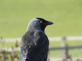 Crow by juliozzy