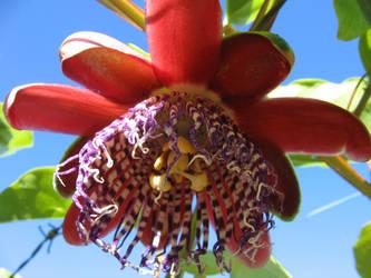 Passiflora alata 2 by juliozzy