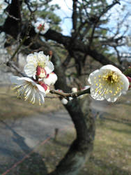Plum Blossoms Nijojo II by BaroqueBobcat