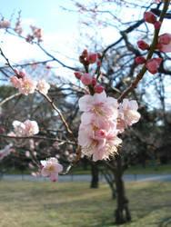 Plum Blossoms Nijojo III by BaroqueBobcat