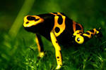 Frog by emBBu-93