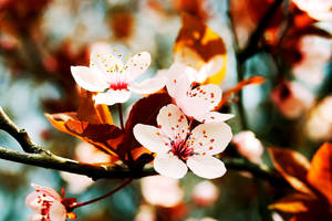 Japanese Cherry by cristiandobre