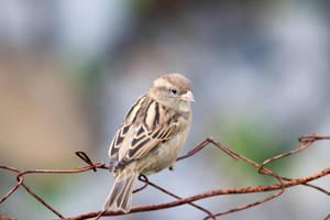 Sparrow #01 by AdnaeInviere