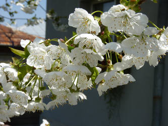 Cherry tree flowers by JohnShyGuy