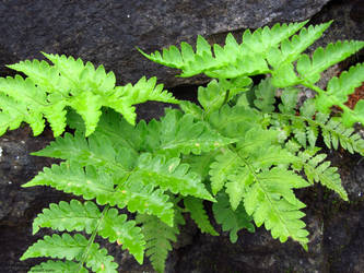 Ferns by thinkanish
