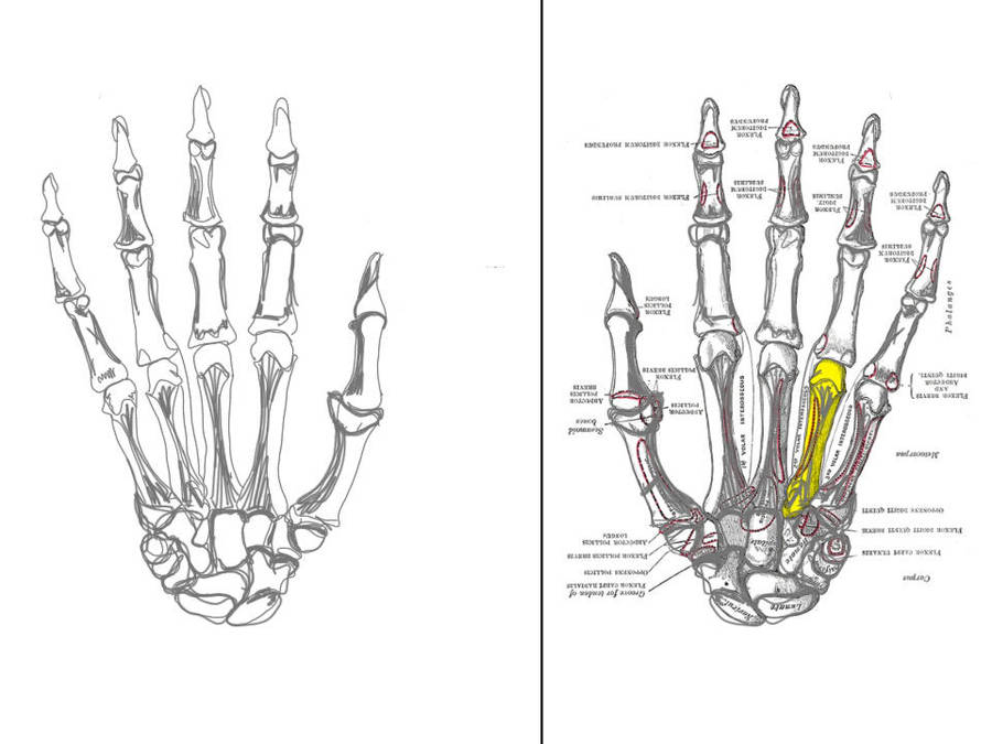 Anatomy The Hand Bones By Majikalelf On Deviantart