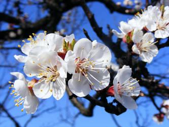 apricot blossom by kicsimoja