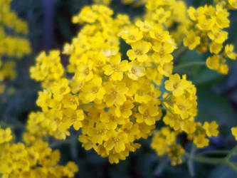 Little Yellow Flowers By Therealzubes On Deviantart