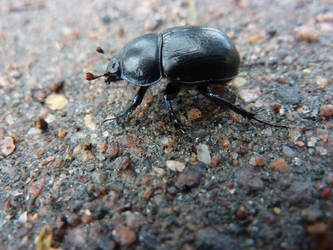 Beetle by Hollowmaid