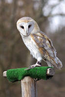 Owl 02 Stock by lokinststock
