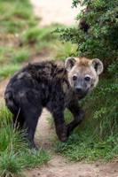 Hyena 01 Stock by lokinststock