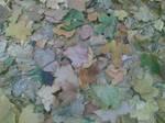 Autumn Leaves by felixplesoianu