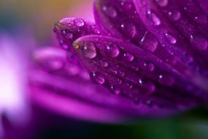 classy violet-chk thdefinition by humbertoRodAr
