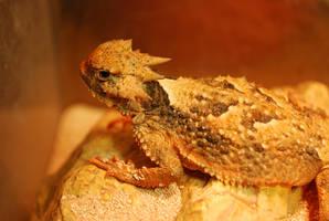Toady - Texas Horned Lizard by Dunkleosteus-noir