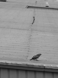 Gray Falcon by PreciousNothin