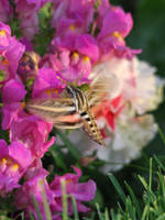 Hummingbird Moth by RavansShadow
