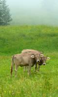 Adorable Cows by Cadaska
