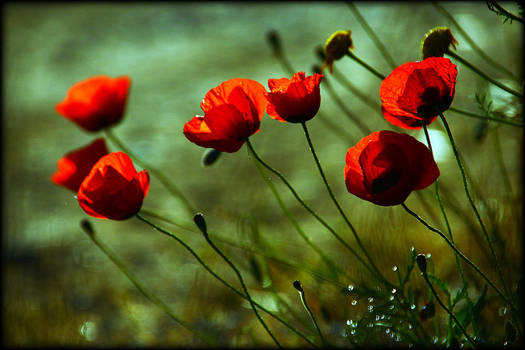 poppies and light 2 by veredgf