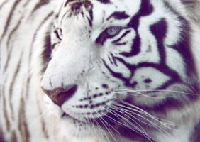White Tiger by AnnaGiladi