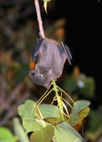 Fruit bat by AnnaGiladi