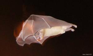 Fruit bat in flight by AnnaGiladi