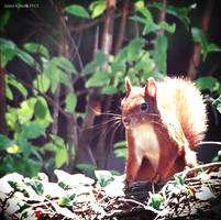 Squirrel by AnnaGiladi