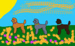 Poodle Show-Ginger, Violet,Daisy by CalliesKennel