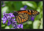 Monarch Butterfly by HogRider