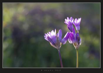 Desert Spring - Blue Dicks by HogRider