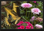 Giant Swallowtail III by HogRider