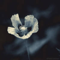 Poppy in blue... by ThierryV