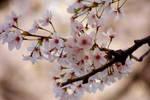 More Sakura by GSDavisArt