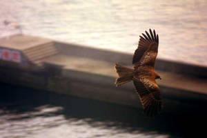 Hawk in flight by GSDavisArt