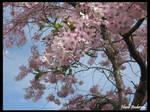 Sakura up close by hazeldazel