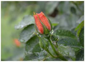 Rose bud by JankaLateckova