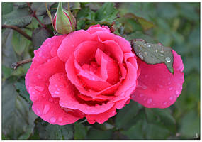 Autumn Rose by JankaLateckova