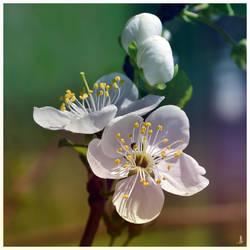 Blossom by JankaLateckova