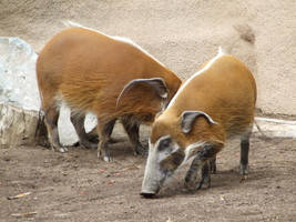 Red River Hog 2 by dtf-stock