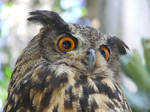 European Eagle-Owl head 5 by dtf-stock